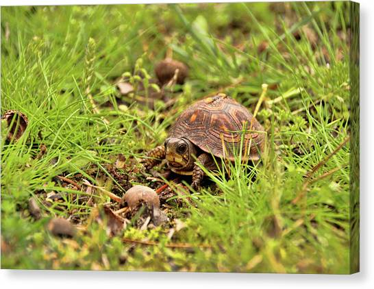 Baby Eastern Box Turtle Canvas Print
