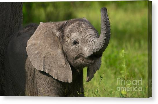 Baby Elephant Smelling Canvas Print