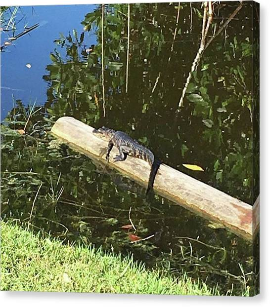 Everglades Canvas Print - #baby #gator #alligator #bigcypress by Patricia And Craig