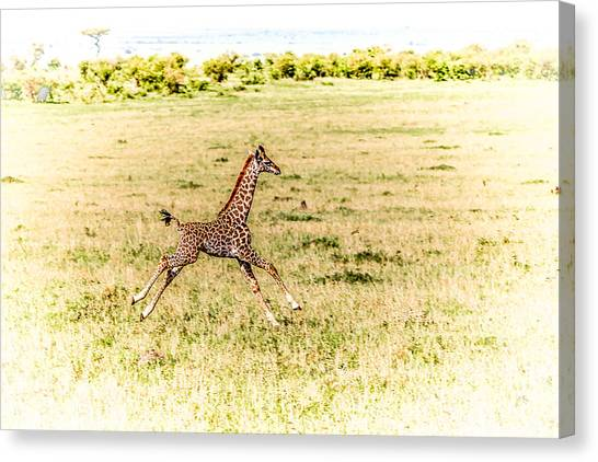 Masai Giraffe Canvas Prints (Page #7 of 14) | Fine Art America
