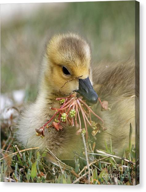 Baby Gosling Collecting Flowers Canvas Print