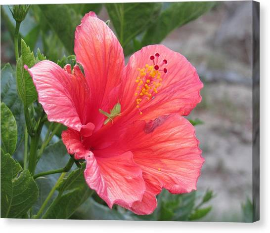 Canvas Print featuring the photograph Baby Grasshopper On Hibiscus Flower by Nancy Nale