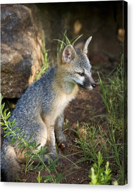 Baby Gray Fox Resting On Bluff Side Canvas Print