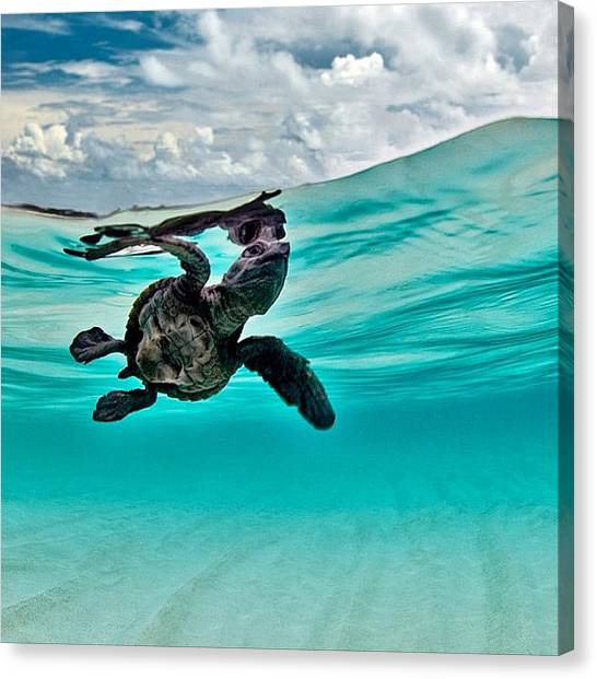 Star Wars Canvas Print - Baby Hawksbill Sea Turtle  by Andy Bucaille