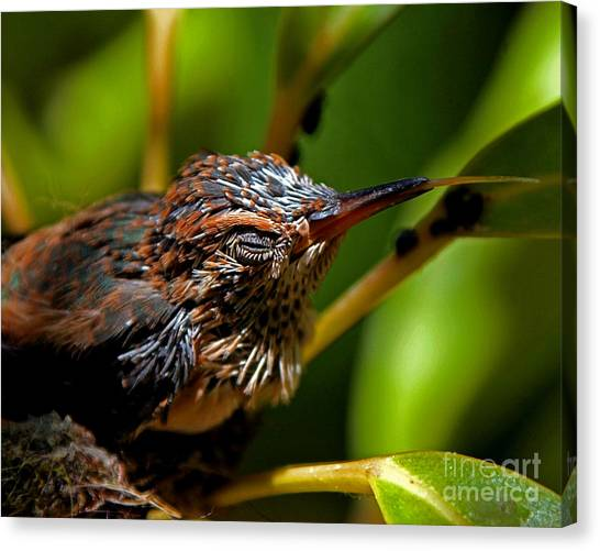 Selasphorus Canvas Print - Baby Hummer Sticking Out Tongue by Kim Michaels