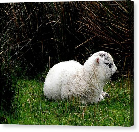 Baby Lamb Canvas Print by Jeanette Oberholtzer