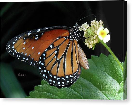 Baby Monarch Macro Canvas Print