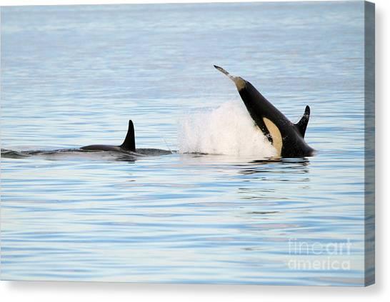 Orcas Canvas Print - Baby Orca Tag by Mike Dawson