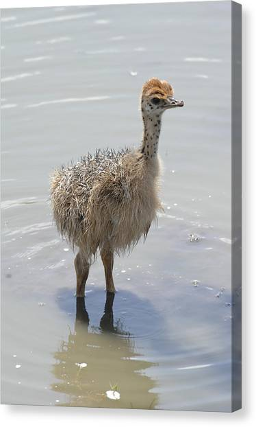 Baby Ostrich Canvas Print by Keith Lovejoy