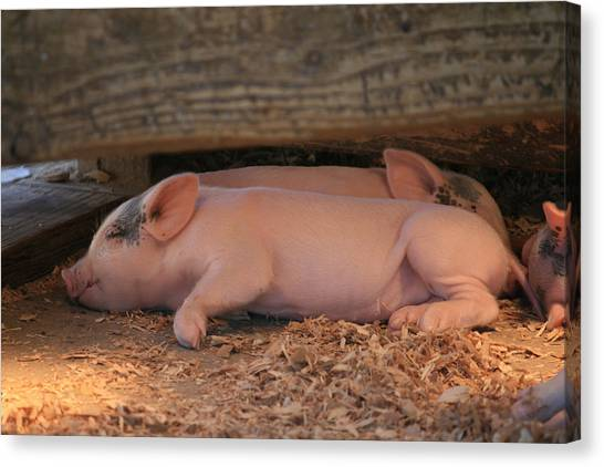 Baby Piglets Canvas Print