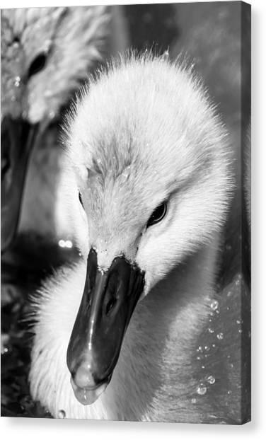 Baby Swan Headshot Canvas Print