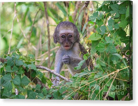 Baby Vervet Monkey Canvas Print