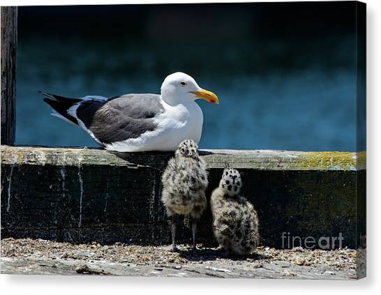 Baby Western Gulls With Mom Canvas Print