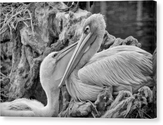 Baby White Pelican Talks To Mother White Pelican Canvas Print