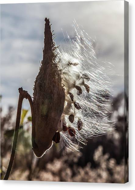Back Lit Milkweed Pod Canvas Print