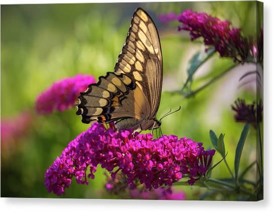 Back-lit Papilio Canvas Print