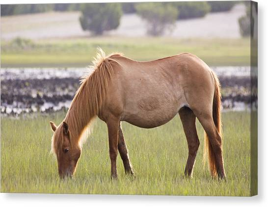 Back-lit Wild Horse Canvas Print