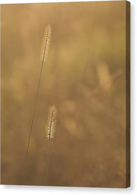 Backlight Grass Stalks Canvas Print by Barry Culling