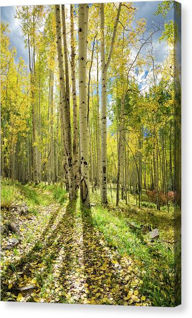 Backlit Aspen Trail Canvas Print