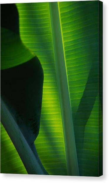 Backlit Banana Leaves Canvas Print by Bob Coates