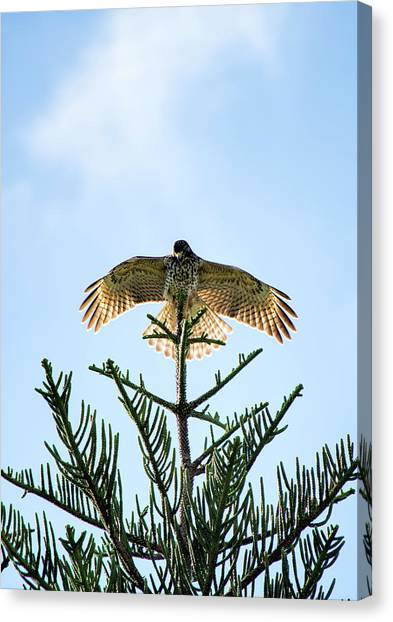 Backlit Landing Hawk Canvas Print