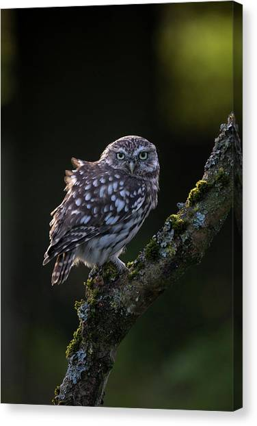 Backlit Little Owl Canvas Print