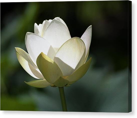 Backlit Lotus Canvas Print by Barry Culling