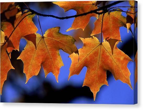 Backlit Maple Leaves Canvas Print by Paul Pobiak