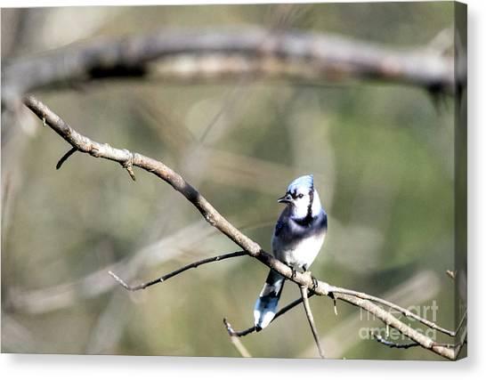 Backyard Blue Jay Canvas Print