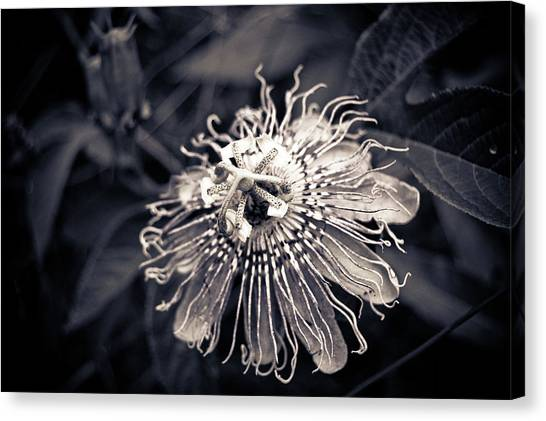 Clematis Flower Bloom Canvas Print