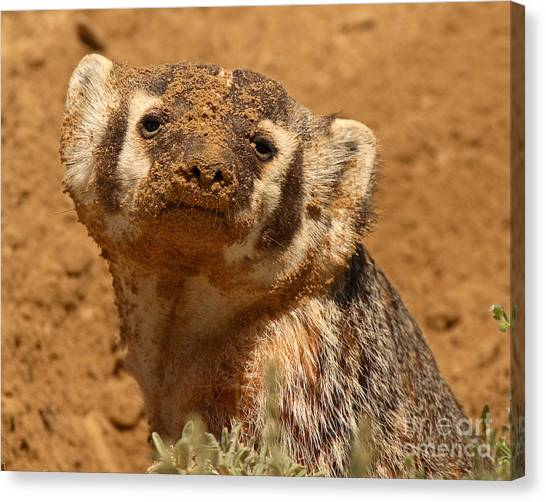Badger Covered In Dirt From Digging Canvas Print by Max Allen