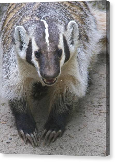 Badgered Badger Canvas Print