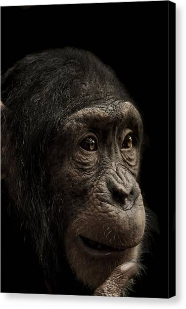 Chimpanzees Canvas Print - Baffled by Paul Neville