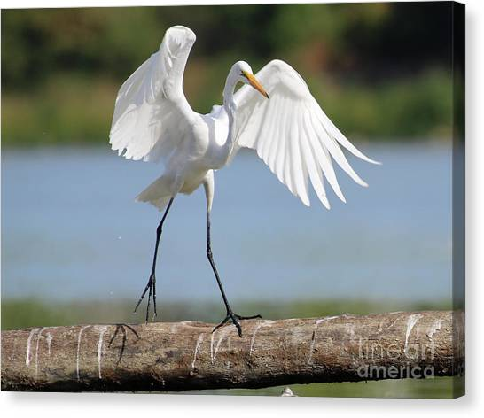 Balance Beam Canvas Print - Balance Beam For Egrets 3065 by Jack Schultz