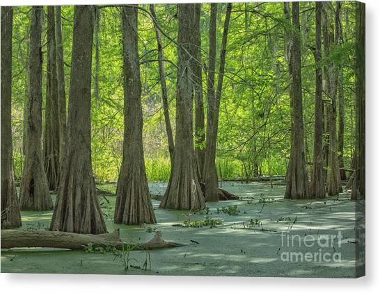 Atchafalaya Basin Canvas Print - Bald Cypresses At Lake Martin, Louisiana by Patricia Hofmeester