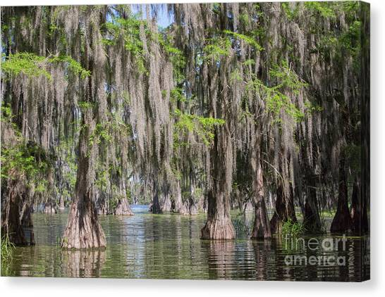 Atchafalaya Basin Canvas Print - Bald Cypresses In Lake Martin, Louisiana by Patricia Hofmeester