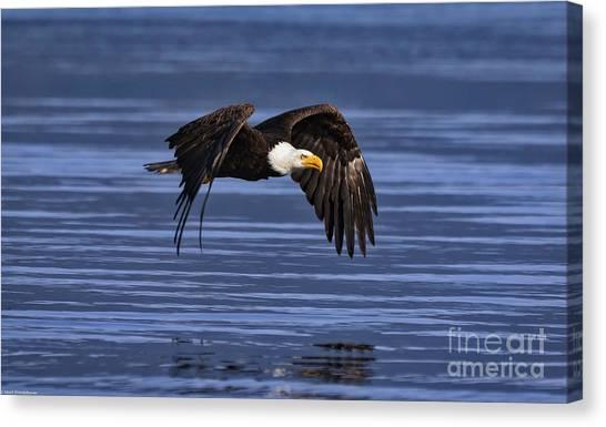 Eagle In Flight Canvas Print - Bald Eagel Flight by Mitch Shindelbower