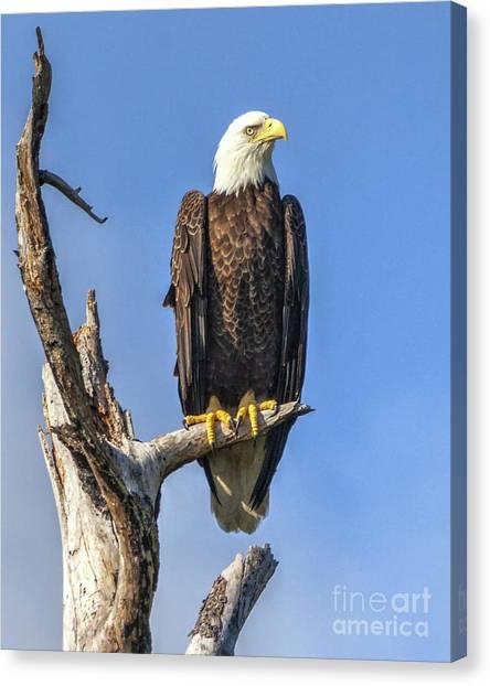 Bald Eagle 6366 Canvas Print