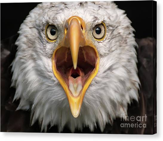 Bald Eagle Calling Canvas Print