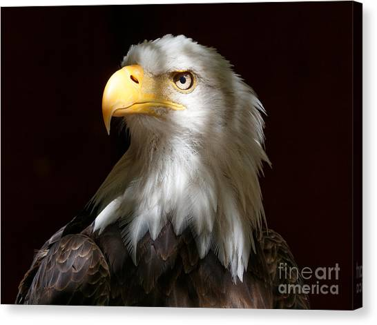 Bald Eagle Closeup Portrait Canvas Print