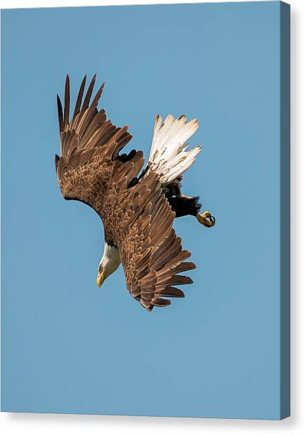 Bald Eagle Dive Canvas Print