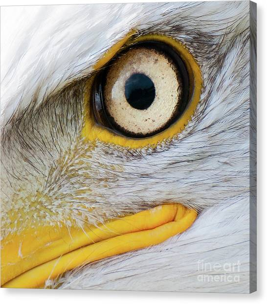 Bald Eagle Eye Canvas Print