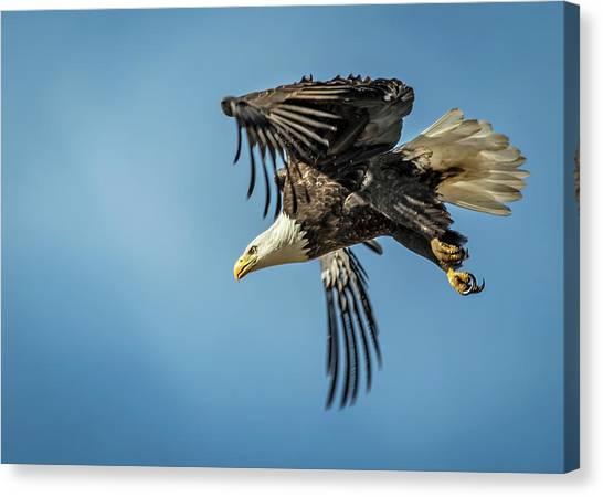 Bald Eagle Flight 1 Canvas Print