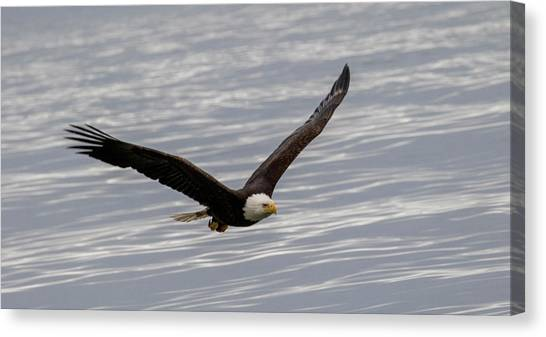 Bald Eagle Flying Over Water Canvas Print