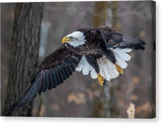 Eagle In Flight Canvas Print - Bald Eagle Flying Thru The Forest by Paul Freidlund