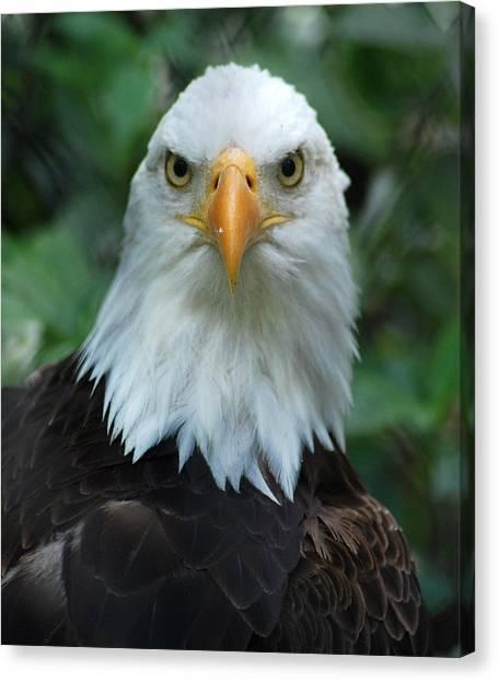 Bald Eagle Head Canvas Print by Christine Savino
