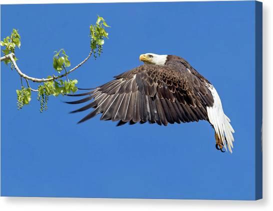 Bald Eagle In Flight 4-25-17 Canvas Print