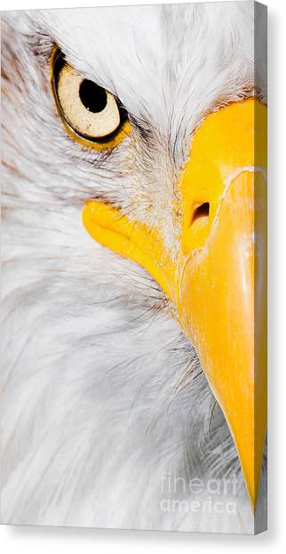 Bald Eagle In Focus Canvas Print