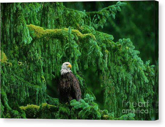 Canvas Print featuring the photograph Bald Eagle In Temperate Rainforest Alaska Endangered Species by Dave Welling