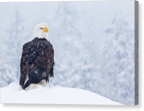 Bald Eagle In The Snow Canvas Print by Brandon Broderick